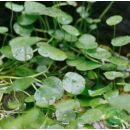 Gotu Kola (Hydrocotylis asiatica) vágott - 50 gr