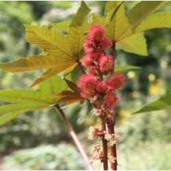 Ricinusolaj - gyógyszerkönyvi tisztaságú (Ricinus communis) - 30 ml