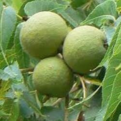 Dióhéj olaj (Phytoconcentrol Walnut) - 100 ml