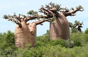 Majomkenyérfa Afrikában (Baobab)